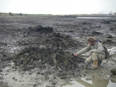 Elliott Wragg of the Thames Discovery Programme examines a root system at Erith