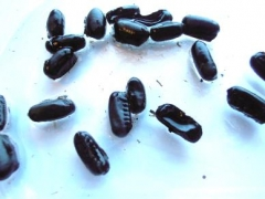 Cockroach egg cases known as ootheca © MOLA