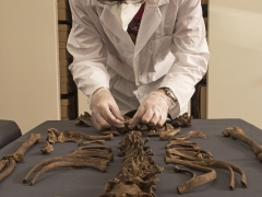 MOLA osteologist, Don Walker, takes tooth sample from Crossrail skeleton (c) MOLA